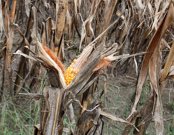 *corn_drought_DSC_0031