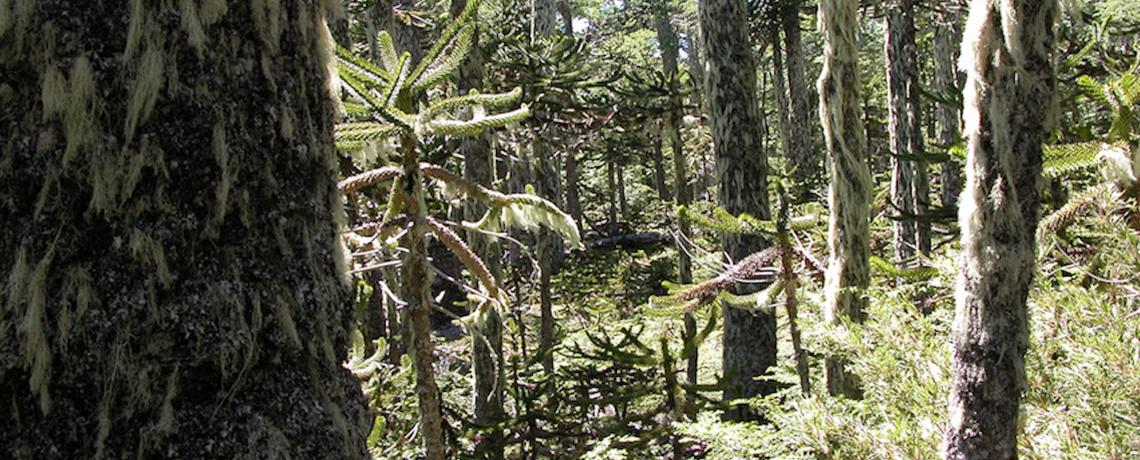 Araucaria-forest-04-small